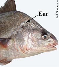 FishEar